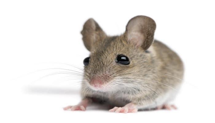 Искусственный интеллект увидел мышиные эмоции