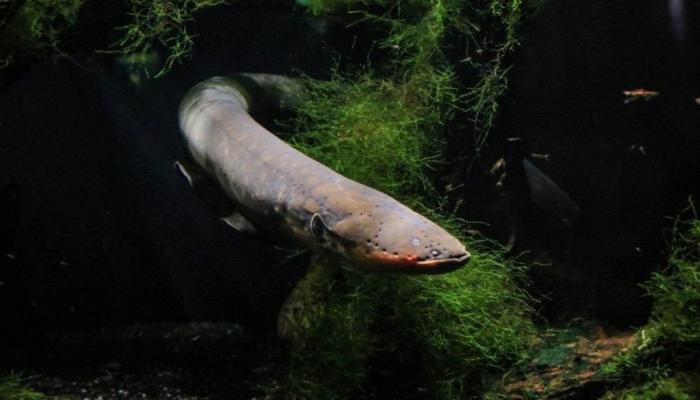 Dünyanın ən güclü elektrikli balığı tapıldı