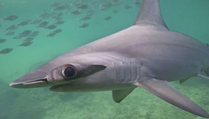 Акула способна избежать переохлаждения при глубоких погружениях
