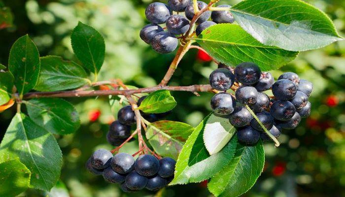 Ученые назвали ягоду, которая помогает в борьбе с раком и болезнями сердца