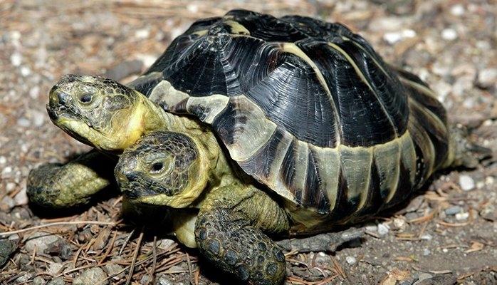 В Китае родилась черепаха-мутант