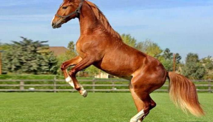 В Азербайджане отберут чистокровных лошадей карабахской породы