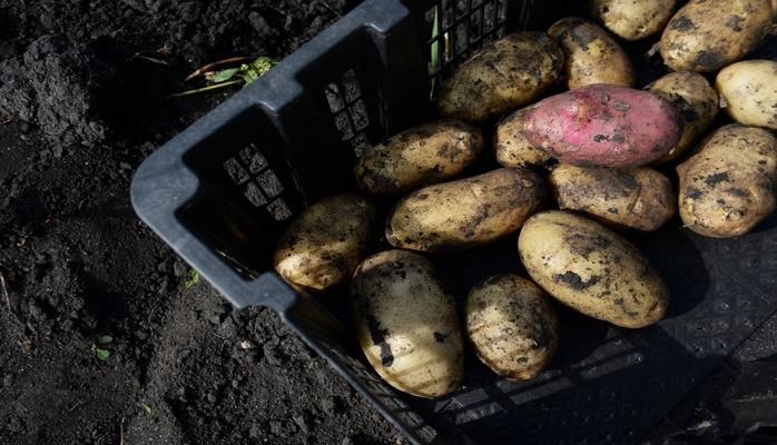 Почему нельзя есть зелёную картошку?