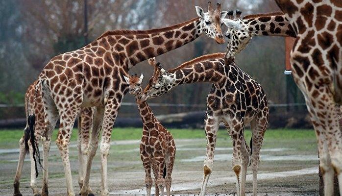"""Детеныши жирафов """"наследуют"""" пятна от матери, выяснили ученые"""