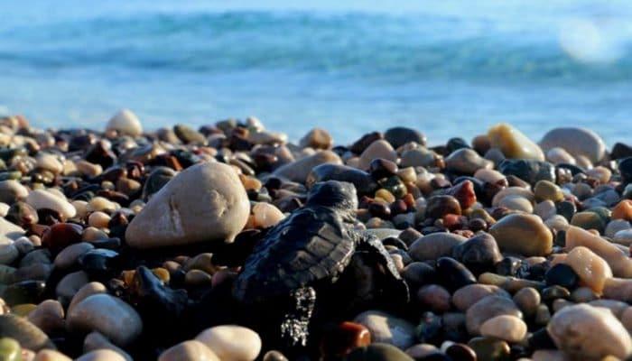 Caretta kaplumbağaları Antalya'da yavrulamaya hazırlanıyor!