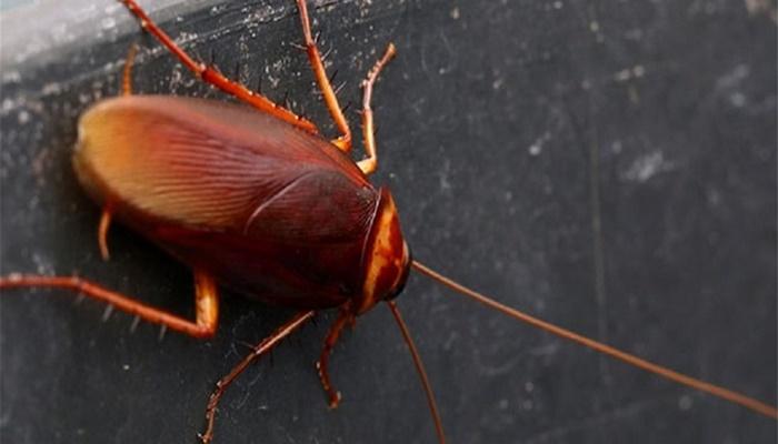 Hamam böceklerinden nasıl kurtulunur?