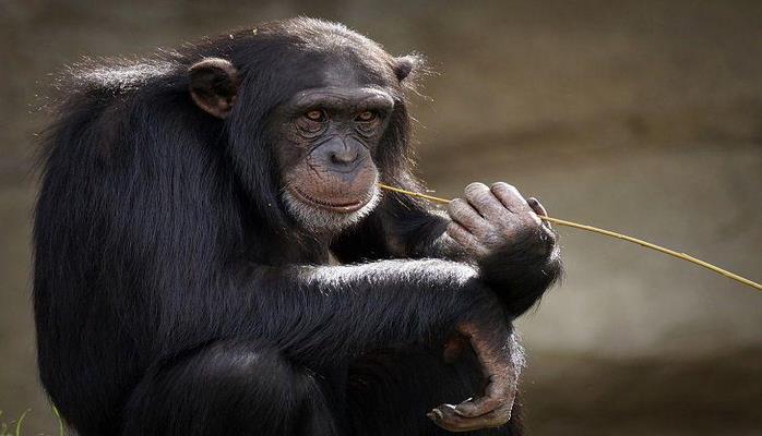 Жесты шимпанзе имеют сходство с речью человека