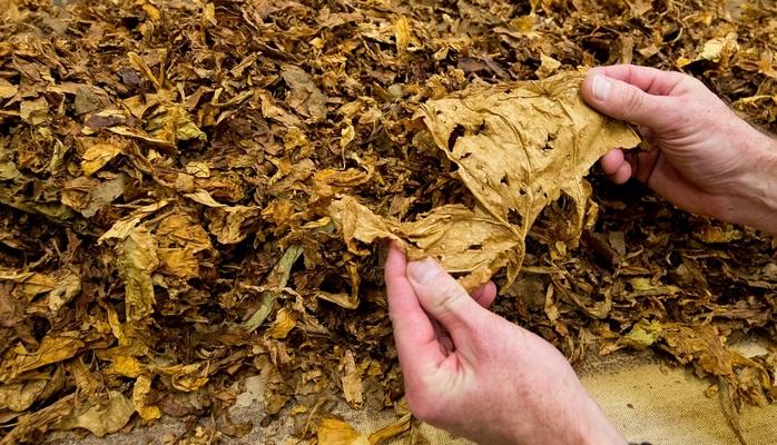 В Азербайджане расширят посевные площади табака