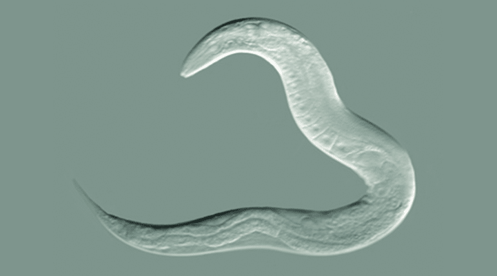 Alimlər nematod qurdlarının ömrünü 500% uzatdı