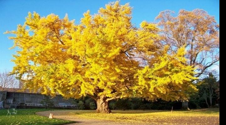 Ученые разгадывают секреты бессмертия деревьев гинкго