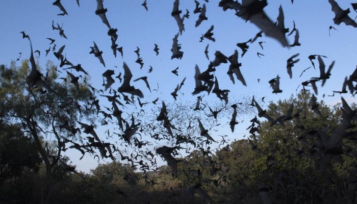 Vampir Yarasaların 'Sosyal Mesafe' Kuralına Uydukları Keşfedildi
