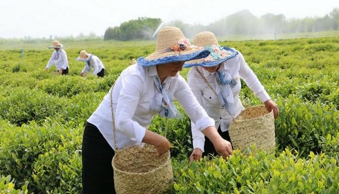 Ötən il 868,6 ton yaşıl çay yarpağı istehsal olunub