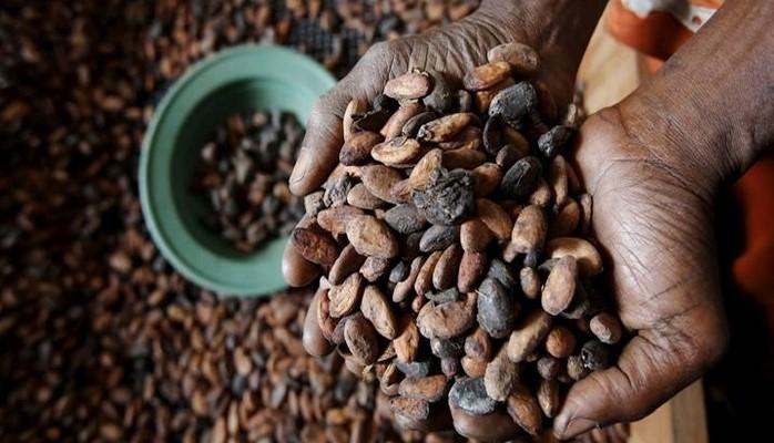 Kakaoda virus həyəcanı - Böhran yaşana bilər