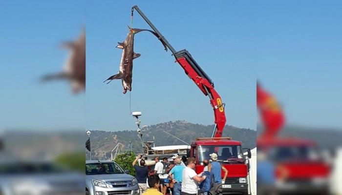 Balıkçıların ağına 400 kiloluk iki köpek balığı takıldı