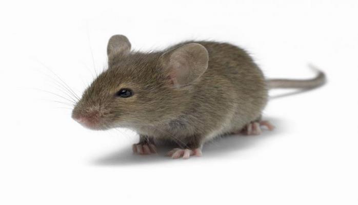 Ученые случайно вывели мышей с необычайно короткими и длинными хвостами