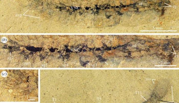 Beyini olan ən qədim canlının qalıqları tapılıb