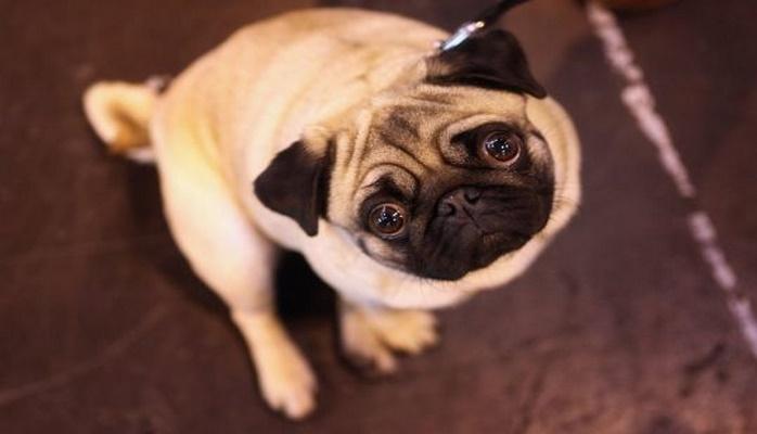 Учёные из Англии доказали, что собаки ещё глупее, чем думают их хозяева