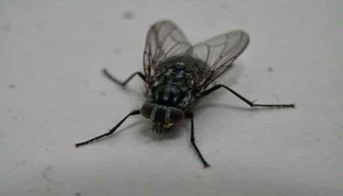 Могут ли мухи разносить коронавирус?