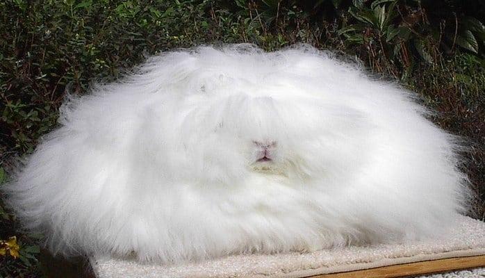 Ангорский кролик: самые интересные факты
