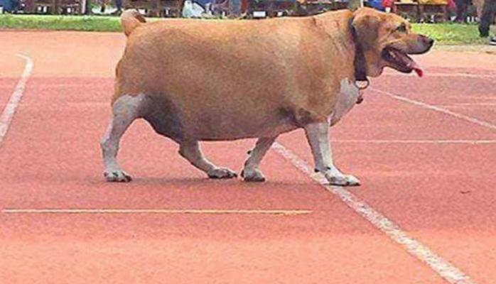 Школьники раскормили собаку-охранника, их обязали помочь ей похудеть