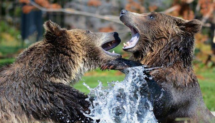 Ученые разработали приложение, которое будет обнаруживать медведей
