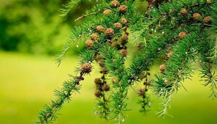 10 интересных фактов о древесине лиственницы