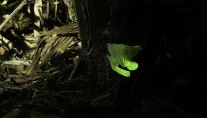 Ученые выяснили, как светятся грибы. И создали светящиеся дрожжи