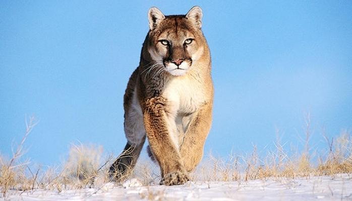 Dünyada bu heyvanın kökü kəsildi - Puma