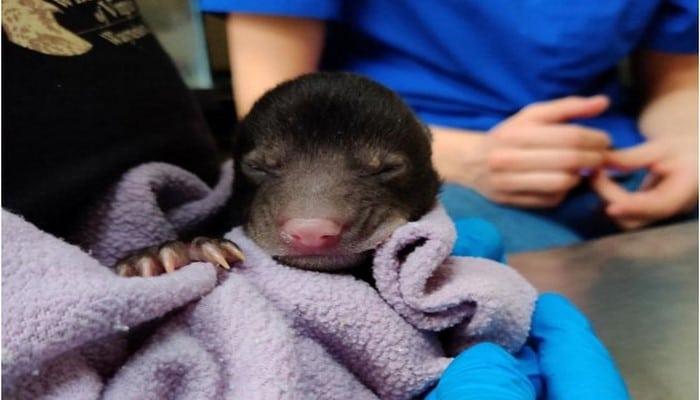 Собака принесла в дом из леса новорожденного медвежонка весом 540 граммов