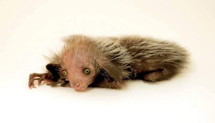 В зоопарке Денвера родилась руконожка