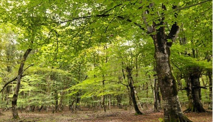 Avropanın ən yaşlı ağacı İtaliyadadır