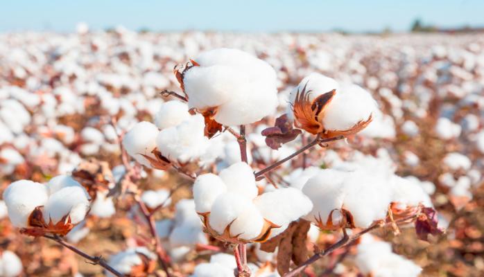 Азербайджан нарастил экспорт хлопкового волокна и пряжи