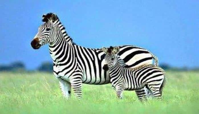 Ученые выяснили, что зебры используют полосы для контроля температур