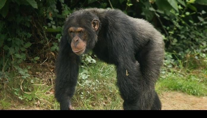 """Şimpanze """"daş,qayçı,kağız"""" oynamağı öyrəndi"""