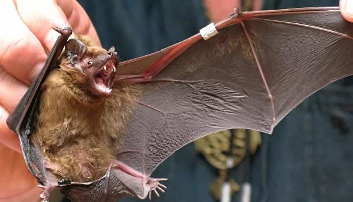 Индийские ученые нашли у летучих мышей еще один тип коронавируса