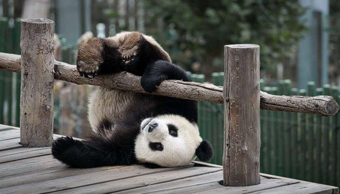 Акробатические трюки от панды