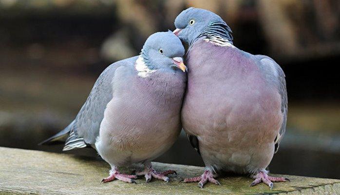 В Орловской области ищут причину массовой гибели голубей