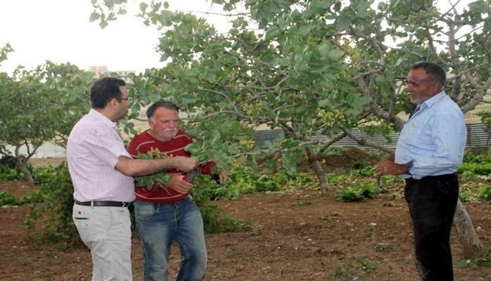 300 bin dekar alan üzerinde yetişen Siirt fıstığı dünya pazarında yer alacak