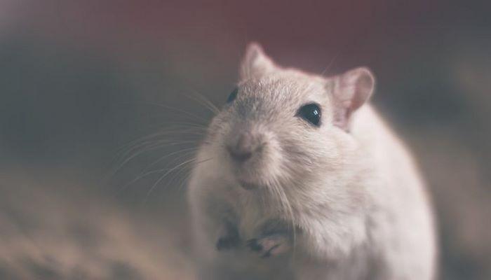 Ученые рассказали, что крысы могут чувствовать туберкулез
