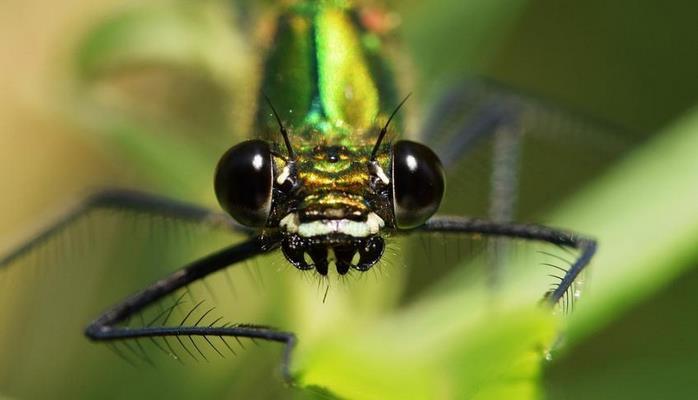 Ученые связали цвет стрекозиных крыльев с температурой