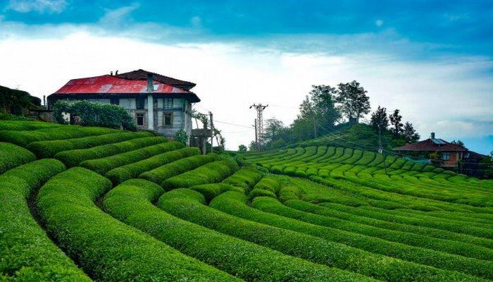 Çeçeva çay tarlasına yoğun ilgi