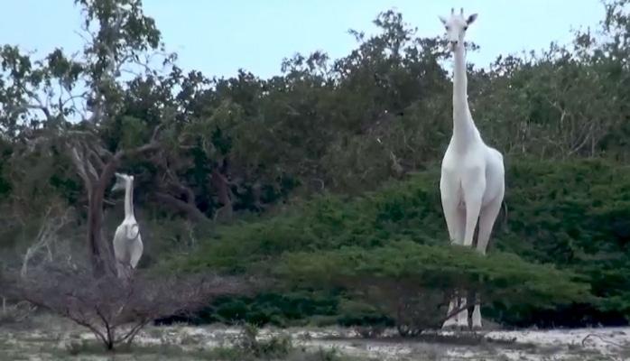 Ağ zürafə - nadir görüş