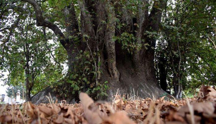 Дерево, которому 1500 лет: оно сохранило следы копыт коня самого Имама Али