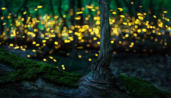 Ateş Böceği Işığının Sırrı ne?
