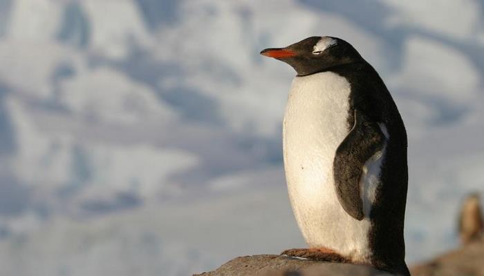 Ученые: Леворукие пингвины дерутся лучше праворуких
