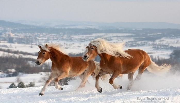 Dünyanın ən bahalı və yaraşıqlı atları