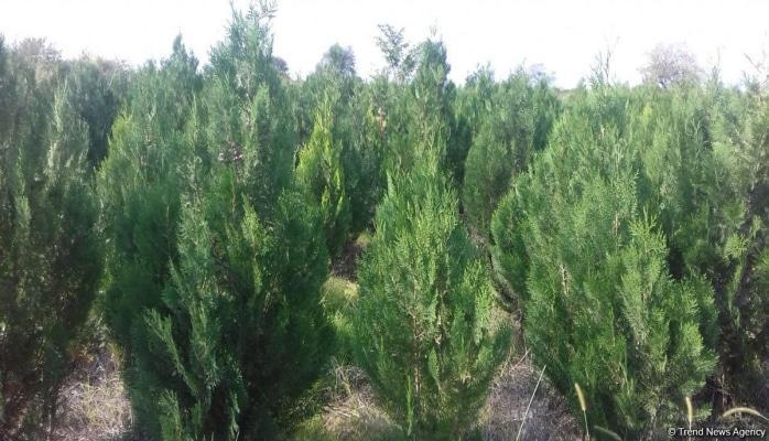 В истории Азербайджана впервые будет высажено 650 тыс. деревьев в один день — минэкологии