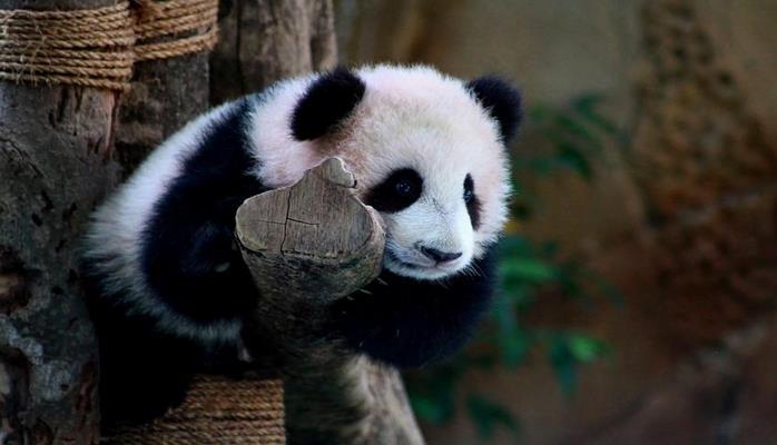 Ученые узнали особенности рациона предков древних панд