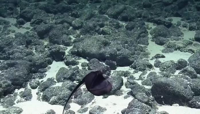 Монстра с огромной пастью обнаружили в Тихом океане