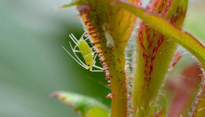Обнаружена взаимосвязь между заражающими растения вирусами и насекомыми